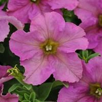 ПЕТУНИЯ КРУПНОЦВЕТКОВАЯ (Petunia grandiflora)