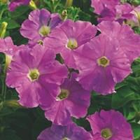 ПЕТУНИЯ МЕЛКОЦВЕТКОВАЯ F1(Petunia millifloraF1)
