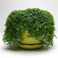Мята почвопокровная Mini Mint