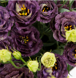 Эустома(Лизиантус) Rosanne 1 Black Pearl - 5 драже - фото 10899