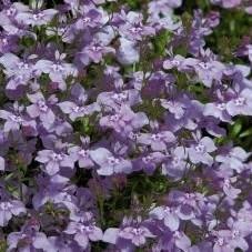 Лобелия Fountain Lilac-20шт - фото 5095