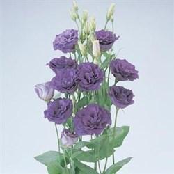 Эустома (Лизиантус) ABC 1 Purple - 5 драже - фото 5575