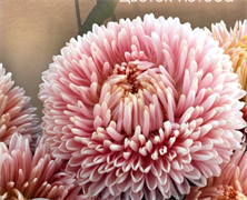 Астра Хризантелла Lotos Flower - 10 шт