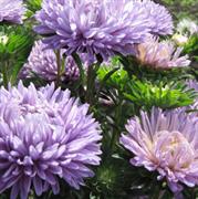 Астра однолетняя Syringa Lavender - 10 шт