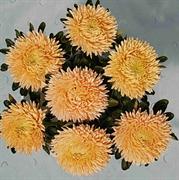 Астра однолетняя Syringa Orange - 10 шт