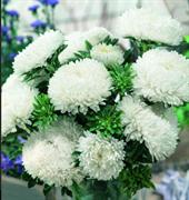 Астра однолетняя Syringa White - 10 шт