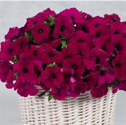 Петуния многоцветковая каскадная  АМОРЕ МИО Violet - 5 драже
