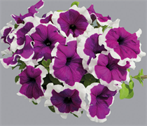 НОВИНКА!Петуния крупноцветковая  ЛИМБО violet picotee -10штук