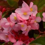 Бегония Megawatt Pink Bronze Leaf - 3 драже