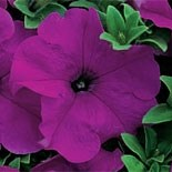 Подарок!Петуния крупноцветковая УЛЬТРА виолет - 10 драже
