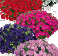 Петуния многоцветковая Бейби Джоконда микс - 5 шт