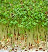 Кресс-салат Данский - 2гр