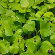 Репа листовая Комацуна зелёная - 1гр