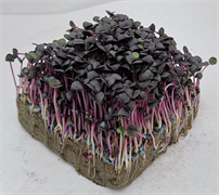 Базилик фиолетовый - 2гр