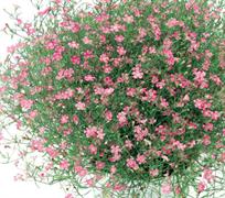 Гипсофила GARDEN BRIDE  pink- 20 шт