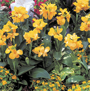 Канна Tropical Yellow - 2 шт