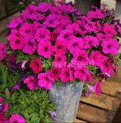 Петуния гибридная ампельная Hotunia Radiance Purple - 5 драже