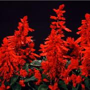 Сальвия блестящая Garabienere Red - 10 шт