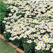 Хризантема ромашковидная Snow Lady - 5 шт