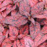 Гипоэстес листоколосниковый Конфетти Компакт красный -10 шт