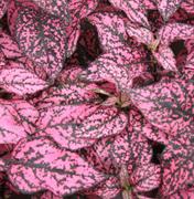 Гипоэстес листоколосниковый Конфетти Компакт розовый -10 шт