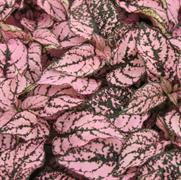 Гипоэстес листоколосниковый Конфетти Компакт пинк -10 шт