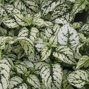 Гипоэстес листоколосниковый Конфетти Компакт белый -10 шт