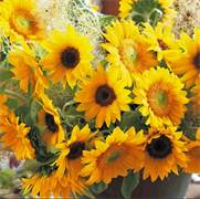 Подсолнечник  высокорослый F1 Sunrich Summer Provence- 5 сем