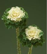 Капуста декоративная F1 Crane с гофрированными листьями белая -5 шт
