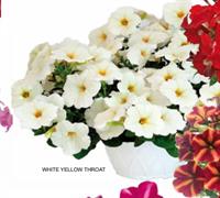 Петуния многоцветковая  My Joy F1 WHITE YELLOW THROAT  - 5 драже