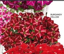 Петуния многоцветковая F1 ДЖОКОНДА Burgundy Yellow- 5 драже