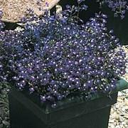 Лобелия Регатта sapphire -10(мульти драже)