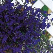 Лобелия Регатта  Midnight Blue (мульти драже)-10 шт