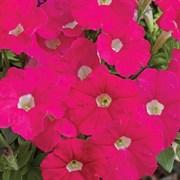Петуния миллифлора Пикобелла Rose-5драже