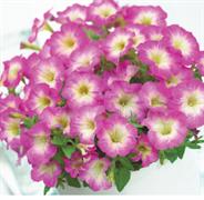 Петуния миллифлора Пикобелла Rose morn-5драже