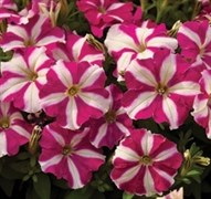 Петуния миллифлора Пикобелла Rose Star-5драже