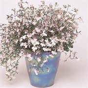 Лобелия Регатта lilac splash (мульти драже)-10шт