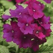 Вербена гибридная КВАРЦ  purple -10шт