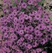 Брахикома Браво Фиолетовая с темным центром -10 шт
