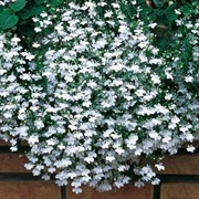 Лобелия Fountain White-20шт