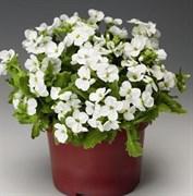 Арабис кавказский (Arabis caucasica) LITTLE TREASURE WHITE - 10 шт