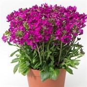 Арабис реснитчатолистный (Arabis blepharophylla) ROSE DELIGHT -10 шт