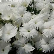Гвоздика китайская Diana F1 white -5шт