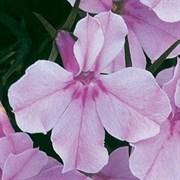 Лобелия Ривьера Lilac-10мдраже