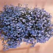 Лобелия Регатта Sky Blue (мульти драже)-10 шт