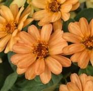 Цинния изящная Profusion apricot - 5 шт