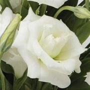 Эустома (Лизиантус) ABC 1 White - 5 драже