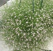 Гипсофила Gypsy White - 20 семян