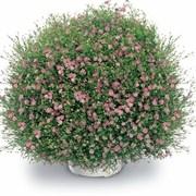 Гипсофила Gypsy Pink - 20 семян