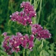 Статица QIS Lavender - 10 шт